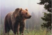A medvék kilövését sürgetik