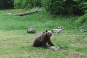 Gyűjtést szervez Hargita Megye Tanácsa a medvetámadások miatt