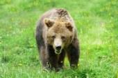 Nem bírnak a medvékkel Erdélyben