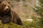 Medve kóborol hazánkban