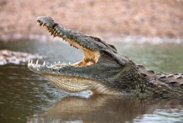 Krokodil támadt egy lelkészre