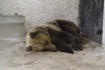 Elengedték a kóborló medvét
