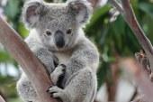 Koalákon segítenek