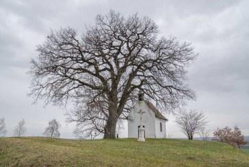 Bátaszék legöregebb fája, a molyhos tölgy lett az év európai fája