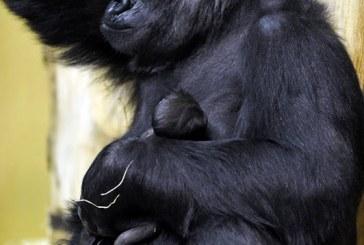 Gorilla született az állatkertben