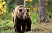 Újabb medve Magyarországon